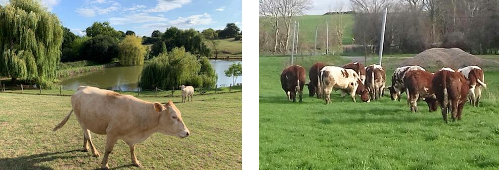 das vaches dans un champ