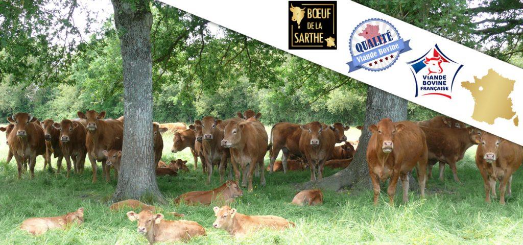 """Photo de vaches """"limousine"""" de Sarthe avec des labels de qualité"""